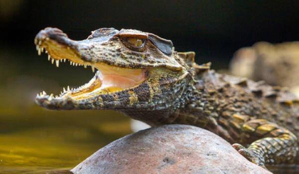 Самые большие крокодилы в мире. Фото, кто больше, сколько метров, где живут