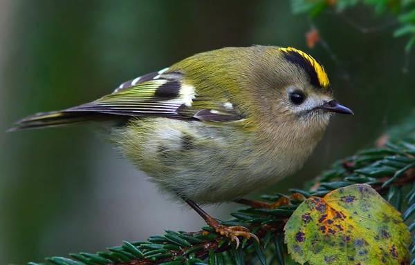 Самые маленькие птички в мире, России. Фото и названия, где живут на Земле
