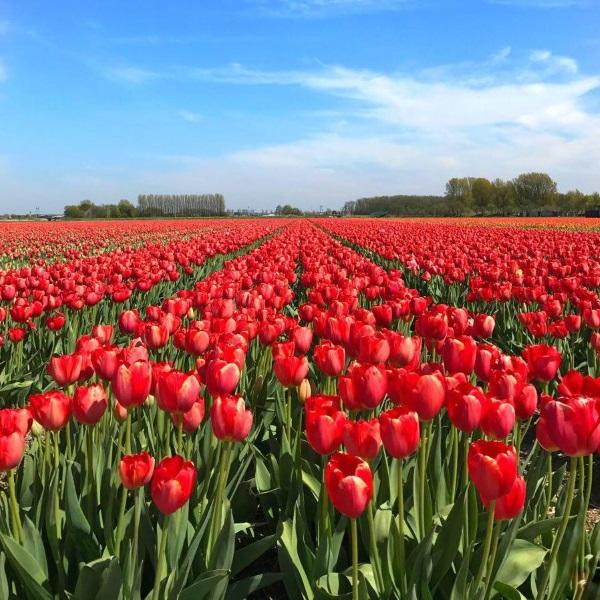 Поля тюльпанов в Голландии, фото из космоса, когда цветут, где находятся