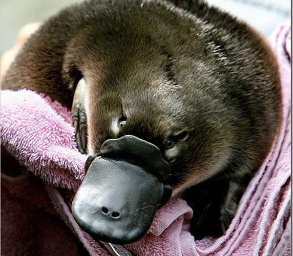 Утконос. Фото животного, где обитает млекопитающее, интересные факты