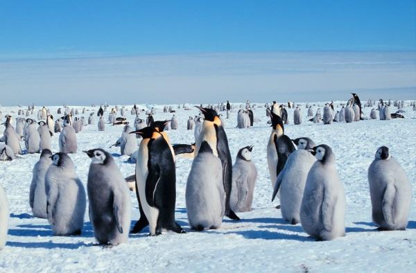 Самые интересные факты о пингвинах для детей. Крупные, распространенные, красивые. Фото