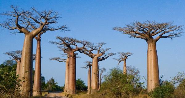 Баобаб - род деревьев, подсемейства Бомбаксовые