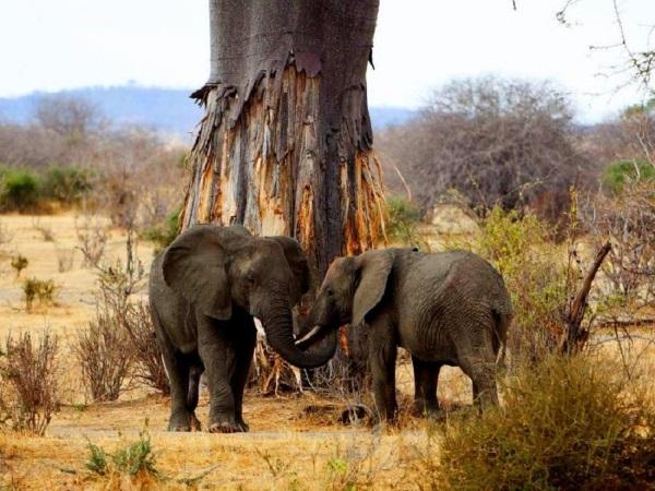 Баобаб. Фото дерева, где растет, высота, свойства масла, интересные факты