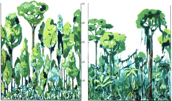 Экваториальные леса Африки и Южной Америки. Фото, растительность и животные, климат