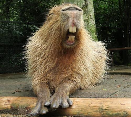 Самый большой грызун в мире. Фото Капибара, где живет, интересные факты