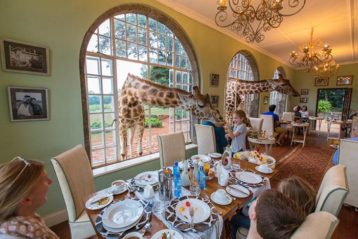Отель с жирафами в Кении Giraffe Manor 5*. Цена, отзывы